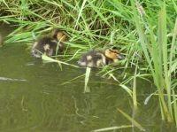 Twee pullekes / Two ducklings