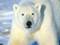 Lední medved