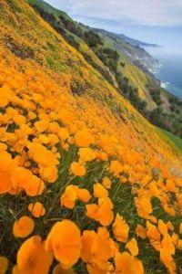 California Poppies at Big Sur