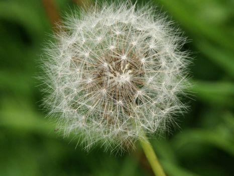 Dandelion seed head - 26th Jul 2003