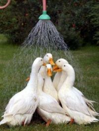 Ducks Enjoying a Shower Together