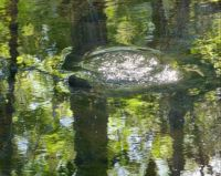 Reflections surround a common snapping turtle.