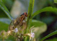 Brood-X Cicada