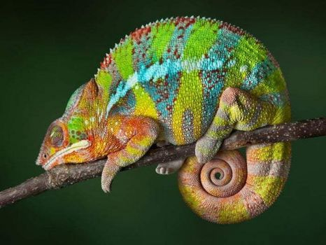 jewel-colored  panther chameleon