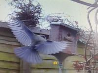 Blue Tit coming in to land at the bird box.