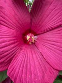 Hibiscus Bloom
