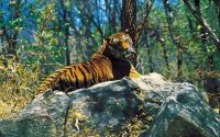 Absolutely stunning picture of a Tiger resting on a rock!
