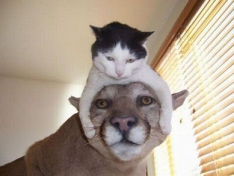 Cats as hats 3