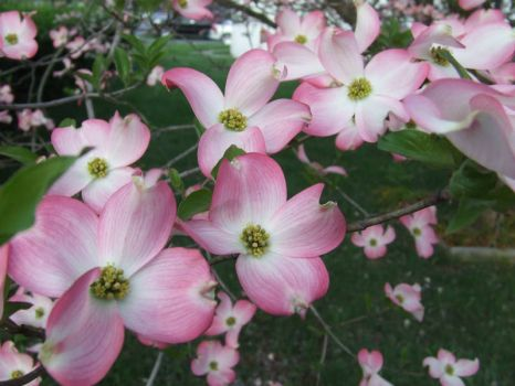 Virginia!  Pink Dogwood