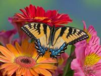 darrell-gulin-eastern-tiger-swallowtail-female-on-gerber-daisies-sammamish-washington-usa