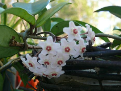 H. carnosa flower