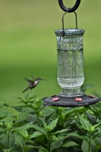 White Chinned Humming Bird