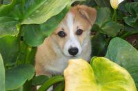 Corgi puppy in shrubs