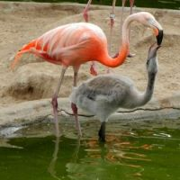 Flamingo feeding chick, San Diego Zoo a few years ago