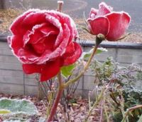 Rose in the Frost