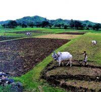 Hallikar Cows At Work, India