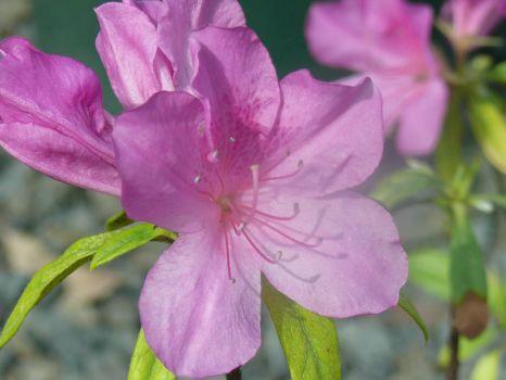 Azalea indica flower           photo - B O'Toole