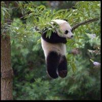 ~Adorable Panda Bear~