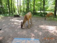 deer in our campsite