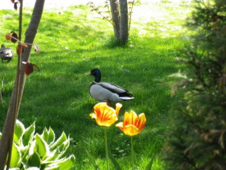 Spring visitors to our garden, every year.