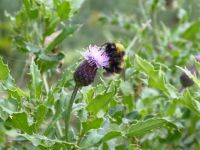 Thistle at Loch Ness