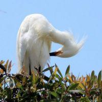 Snowy Egret, Del Mar, California