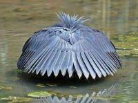 African Heron Umbrella hunting