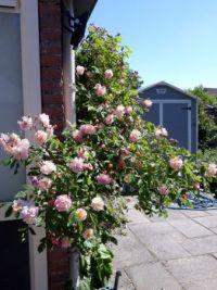 Mijn rozen.