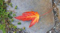 Split leaf maple