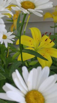 Daisys and Day Lilies