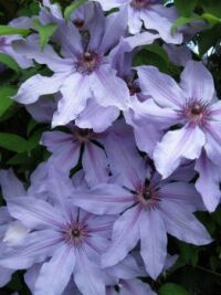 Clematis #4 and last one of these