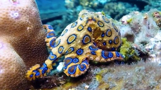 1. ~ Blue Ringed Octopus.