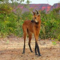 Maned Wolf  (Chrysocyon brachyurus) by Sean Crane