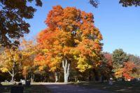 Autumn Maple 2015