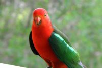 One of our beautiful Australian parrots.