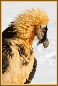 Bearded vulture, only bird known to decorate itself