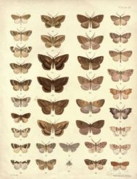 New_Zealand_Moths_and_Butterflies_(1898)_09
