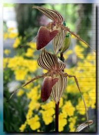 Lady's Slipper Orchids