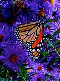 The Monarch and the asters.