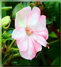 Impatiens for nette