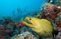 Green Moray eel in coral reef Juno Beach FLA