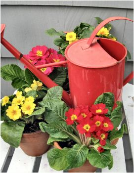 Red Watering Can and Spring Primulas