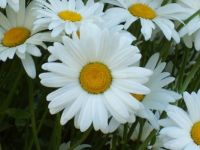Daisies 2 closeup