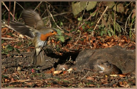 Robin & field mouse