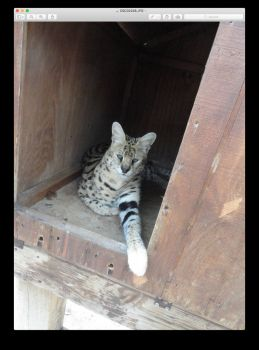 Serval: Bear Creek Feline Center Fla.