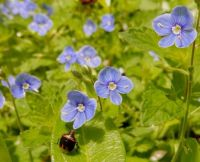 Creeping Speedwell and an Unwelcome Visitor