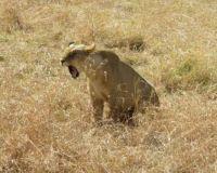 lion yawn - aug 2017 -  kenya