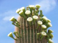 Saguaro cactus in bloom May 18 2014