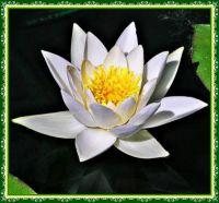 White Waterlily in a garden pond.