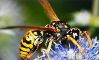nasty little wasp